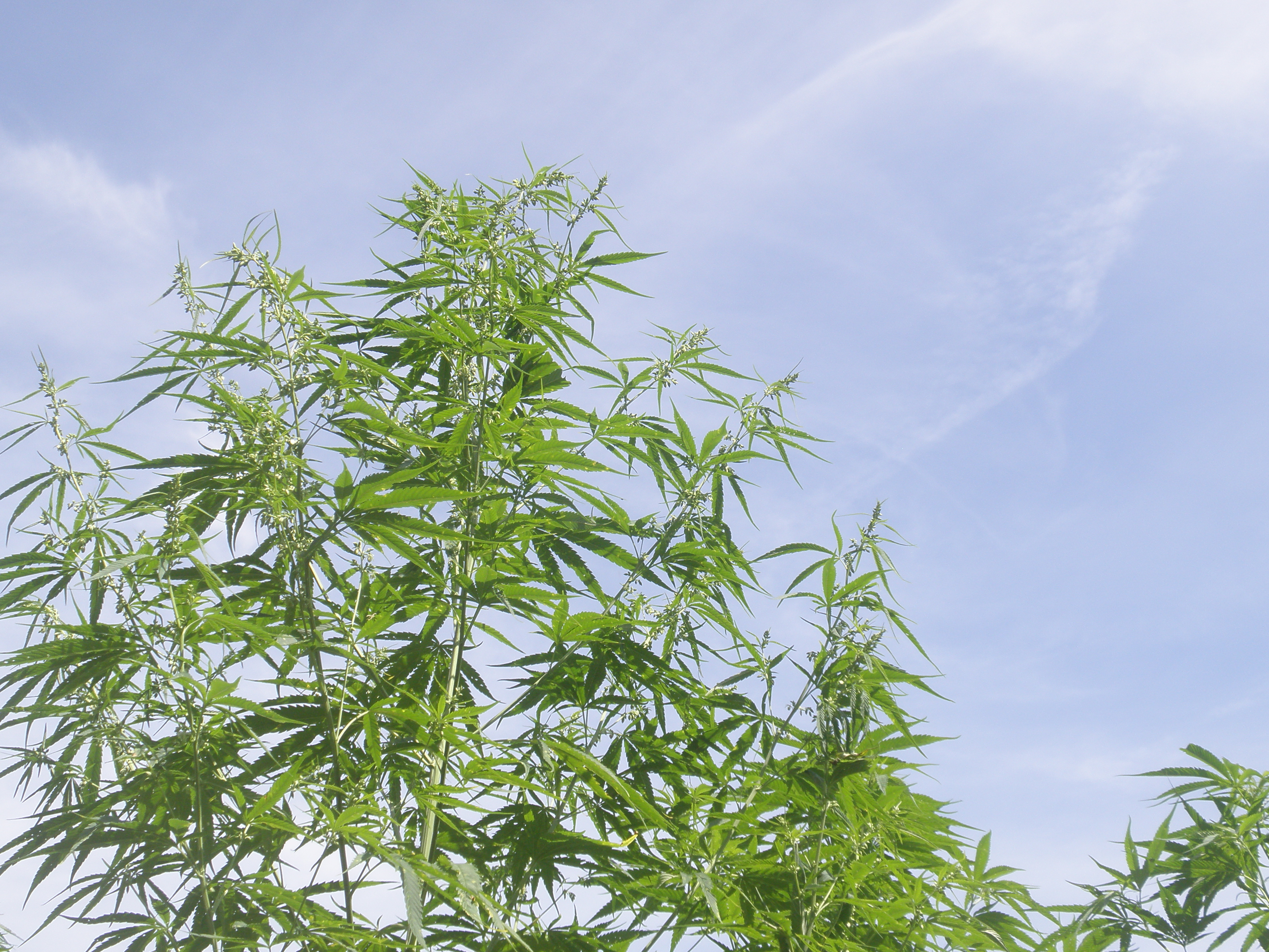 繊維用大麻【ヘンプ】って日本でも作っているの?